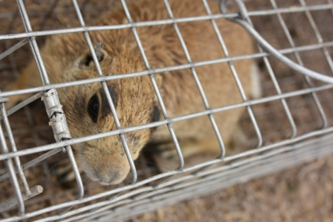 A prairie dog caught in a relocation trap. (Photo/ Nelson Stauffer, Flickr Creative Commons.)